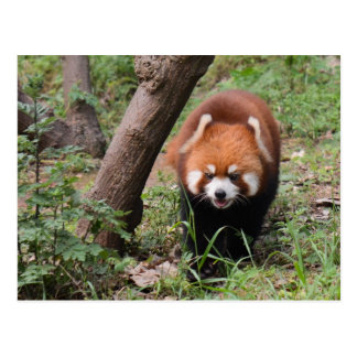 Foxy Panda Postcard