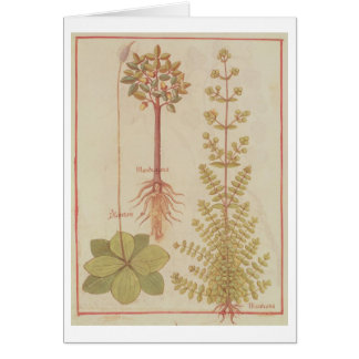 Fr 12322 f.180v Plantain, marjoram and mandrake, f Card
