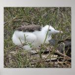 Fragata (frigate bird) chick, Isla Seymour, Galapa Posters