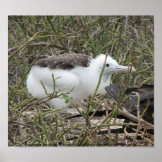 Fragata (frigate bird) chick, Isla Seymour, Galapa Poster