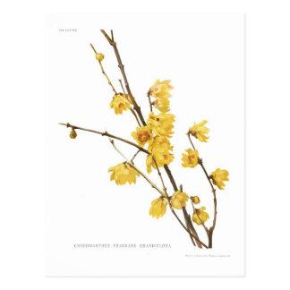 Fragrans del Chimonanthus Tarjeta Postal