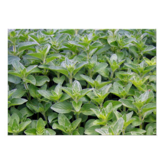 Fragrant Oregano Poster