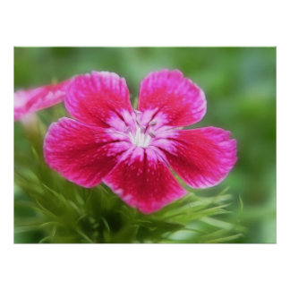 Fragrant Pink Sweet William Blossom Print