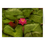Fragrant Water Lily in HDR Greeting Cards
