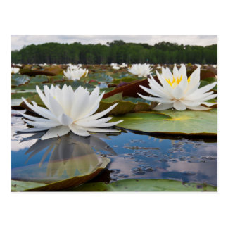 Fragrant Water Lily (Nymphaea Odorata) On Caddo Postcard