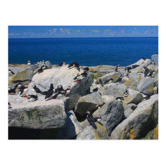 Frailecillos atlánticos Razorbills de la isla del Tarjeta Postal