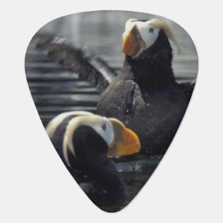 Frailecillos copetudos de Alaska Plumilla De Guitarra