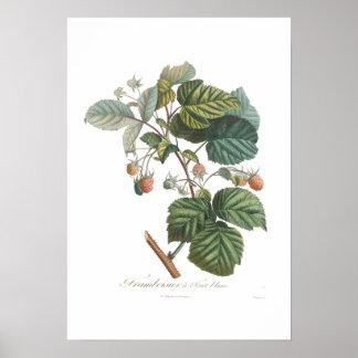 Frambuesa blanca poster