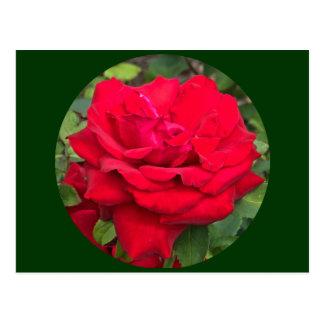Framed Red Rose Postcard