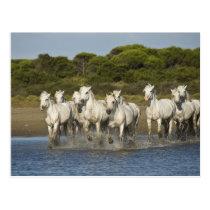 France, Camargue. Horses run through the estuary 3 Postcard