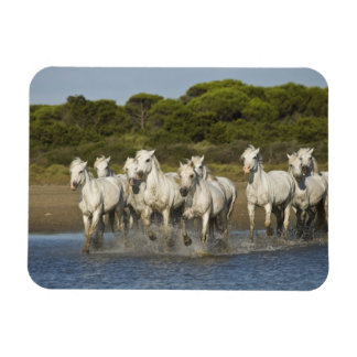 France, Camargue. Horses run through the estuary 3 Vinyl Magnet