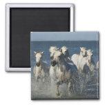 France, Camargue. Horses run through the estuary 4 Fridge Magnets