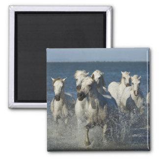 France, Camargue. Horses run through the estuary 4 2 Inch Square Magnet