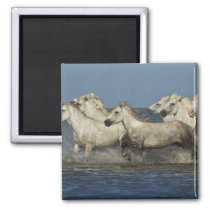 France, Camargue. Horses run through the estuary Magnet