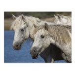 France, Camargue. Horses run through the Postcard