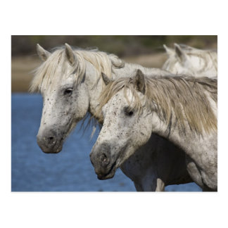 France, Camargue. Horses run through the Postcard