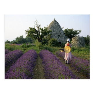 France, PACA, Vaucluse, Woman in a lavender Postcard