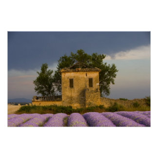 France, Provence. Field of lavender and Poster