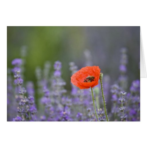 France, Provence. Lone poppy in field of Greeting Card