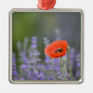 France Provence Lone poppy in field of Ornament