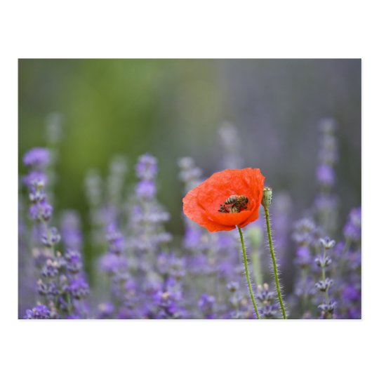 France, Provence. Lone poppy in field of Postcard