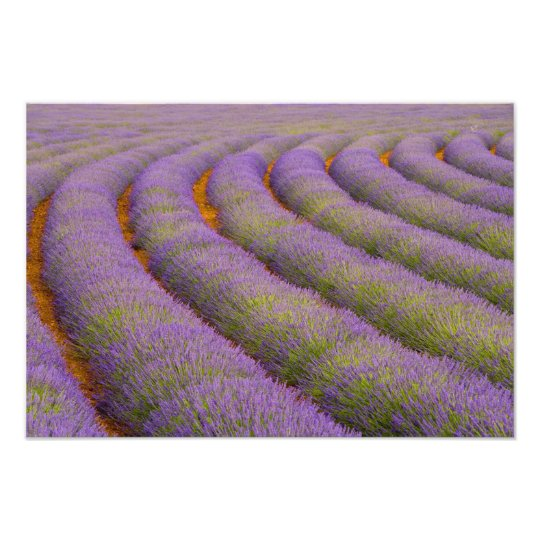 France, Provence region. Curved rows of Photo Print
