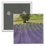 France, Provence. Rows of lavender in bloom. 2 Inch Square Button