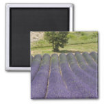 France, Provence. Rows of lavender in bloom. 2 Inch Square Magnet