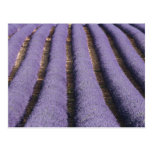 France, Provence. Rows of lavender in bloom. 2 Post Card