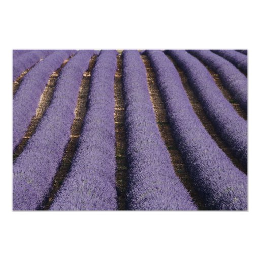 France, Provence. Rows of lavender in bloom. 2 Poster