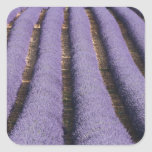 France, Provence. Rows of lavender in bloom. 2 Square Sticker
