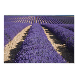 France, Provence. Rows of lavender in bloom. 3 Poster