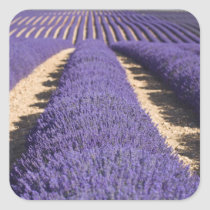 France, Provence. Rows of lavender in bloom. 3 Square Sticker
