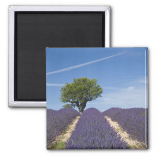 France, Provence. Rows of lavender in bloom. 4 2 Inch Square Magnet