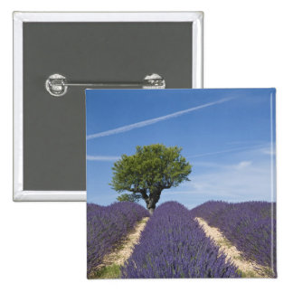 France, Provence. Rows of lavender in bloom. 4 Button