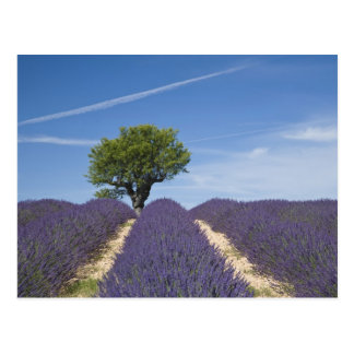 France, Provence. Rows of lavender in bloom. 4 Postcard