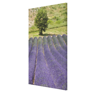 France, Provence. Rows of lavender in bloom. Canvas Print