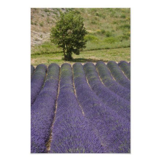 France, Provence. Rows of lavender in bloom. Poster