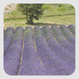 France, Provence. Rows of lavender in bloom. Square Sticker