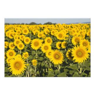 France, Provence, Valensole. Field of Photo Print