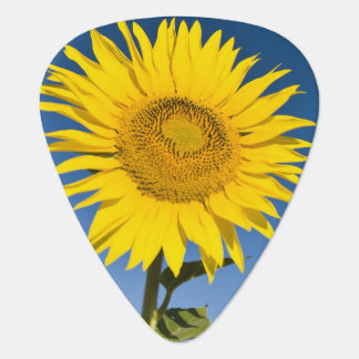 France, Provence, Valensole. Sunflowers stand Guitar Pick