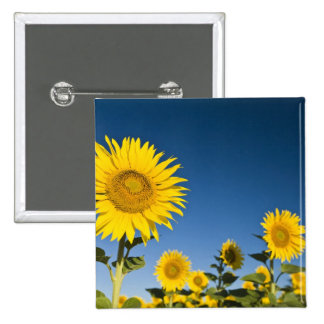 France, Provence, Valensole. Sunflowers stand Pinback Button