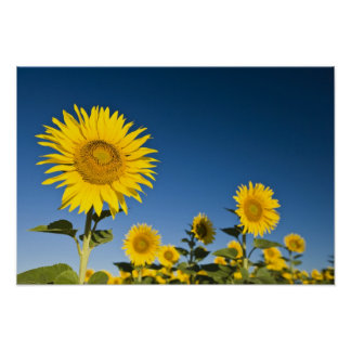 France, Provence, Valensole. Sunflowers stand Poster