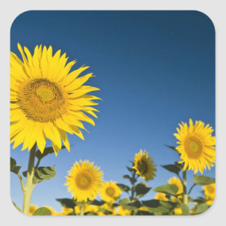 France, Provence, Valensole. Sunflowers stand Square Sticker