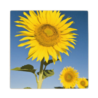 France, Provence, Valensole. Sunflowers stand Wood Coaster