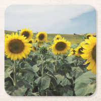 France Provence, View of sunflowers field