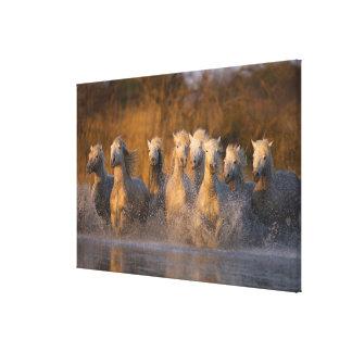 France, Provence. White Camargue horses Canvas Print