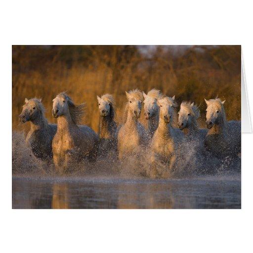 France, Provence. White Camargue horses Card