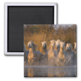 France, Provence. White Camargue horses Refrigerator Magnets