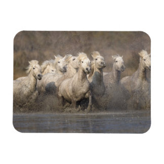 France, Provence. White Camargue horses running Rectangle Magnet